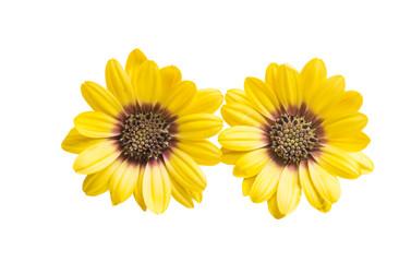 Osteospermum flover yellow isolated