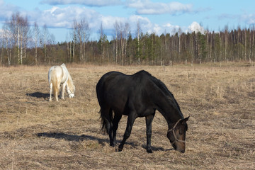 horses graze on the field in early spring