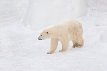 Large polar bear is walking on white snow. Animals in wildlife.