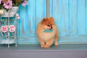 Cute pomeranian puppy in blue bow tie is standing on wooden flooring.