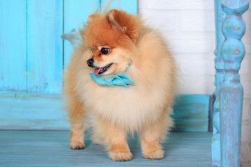 Cute pomeranian puppy in beautiful blue bow tie. Closeup.