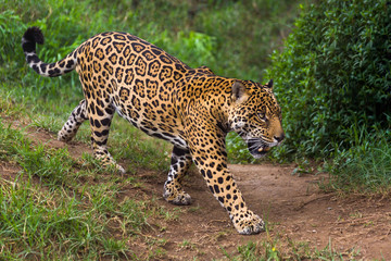 Jaguar in Amazon rain forest