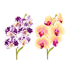 Branches orchid Phalaenopsis yellow and spotted purple and white  flowers and leaves tropical plants  stem and buds on a white background vintage vector botanical illustration for design