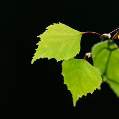 Beautiful backlit birch tree leaf
