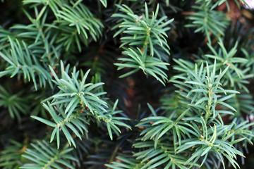 green branch of pine
