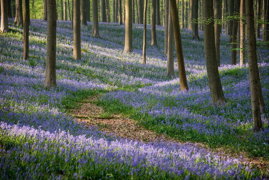 Pathway in the blue bells forest, Hallerbos, Belgium