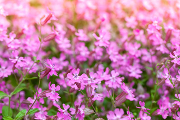 Wall Mural - Bright pink flowers in spring garden. Close-up