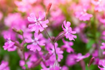 Wall Mural - Bright pink flowers in spring garden. Macro