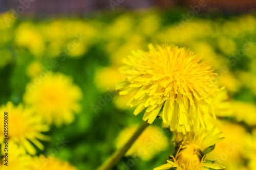 Dandelions yellow flowers on the field stock photo and royalty free dandelions yellow flowers on the field mightylinksfo