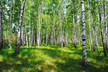 A picture of a birch grove illuminated by the rays of the spring sun