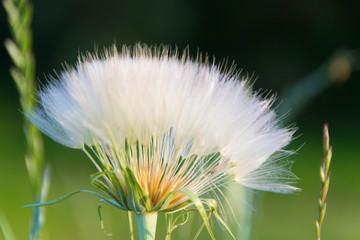 Dandelion. Dandelion seed