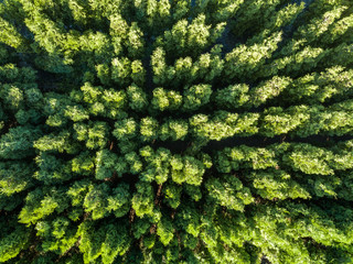 Top view of a green forest. Natural background. Drone photographу