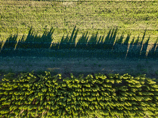 Wall Mural - Top view field with young trees, conservation of the forest. Photo from the drone