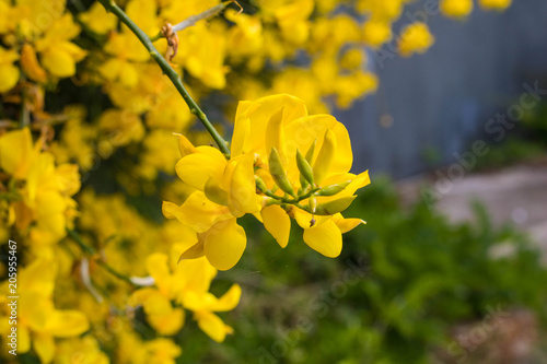 Yellow Broom Flowers Closeup Stock Photo And Royalty Free Images On