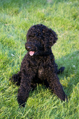 Puppy Portuguese Water Dog sitting on the grass in park by sunset