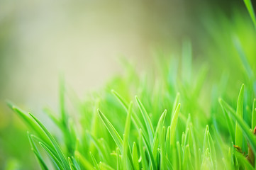 Fresh green grass with defocused blurred background.