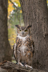 Great Horned Owl with Fall Foliage Background