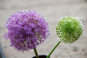 Purple and young green allium onion garden flower