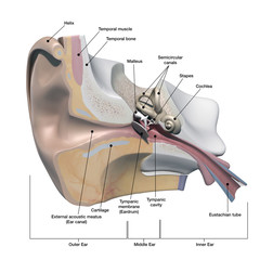 Human Ear Anatomy Cross Section View with Labels on White