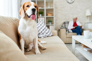 Full length portrait of gorgeous beagle dog with tongue out sitting on couch in living room with senior woman reading book in foreground, copy space