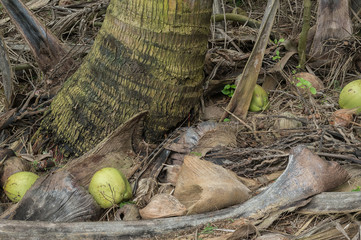 Coconuts and palm fronds on the ground near a palm tree trunk