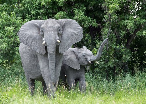 Mother elephant with baby raising trunk