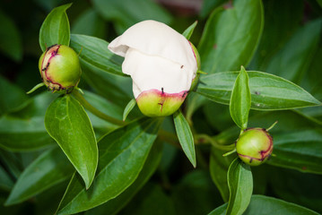 WHite Peony Buds begining to open