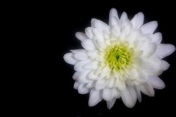 Beautiful White Chrysanthemum Flower on Black Background