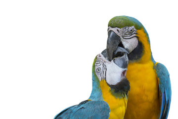 Blue and gold macaw isolated on white background , lovely birds