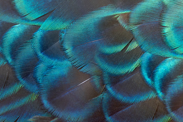 The beauty of peacock feathers. Wall mural