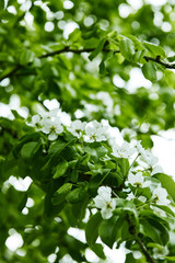 close-up shot of white cherry flowers on tree