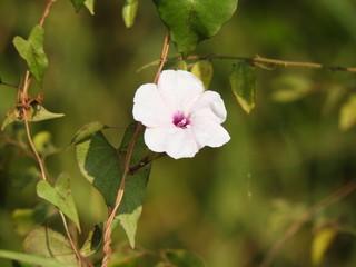 Ipomoea purpurea, common morning-glory, tall morning-glory or trumpet flower
