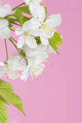 Branch of fresh blooming cherry tree. Spring flowers background.