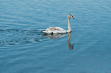 closeup of young swan swimming  in the lake  with reflection