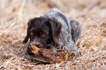 german wirehaired pointer with woodcock