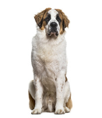 St.Bernard dog sitting and looking at camera against white backg