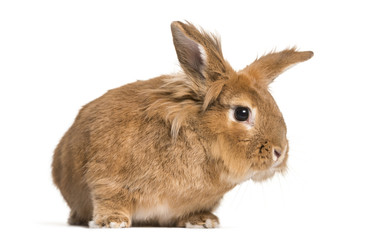 Brown rabbit looking at camera against white background
