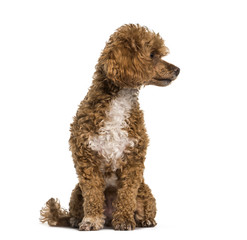 Poodle dog looking away against white background