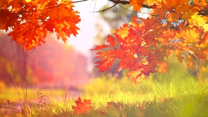 Wall Mural - Autumn leaves swinging on a tree in autumnal park. Fall. Slow motion. 3840X2160 4K UHD video footage
