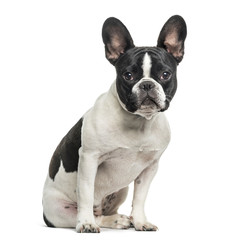Poster Franse bulldog French bulldog looking at camera against white background