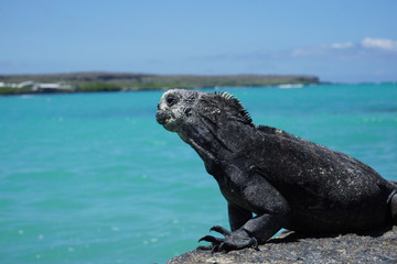 Marine Iguana, Santa Cruz Island, Galapagos