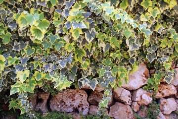 climbing plant on an stone wall