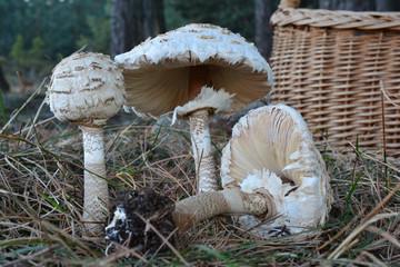Three Parasol mushrooms in natural habitat