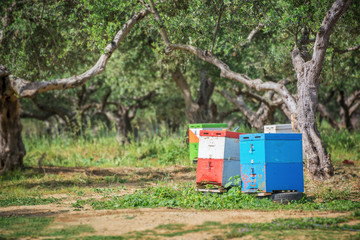 Colorful beehives in a field with olives trees in Greece