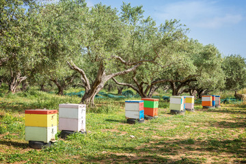Row of colorful beehives in a field with olives trees in Greece