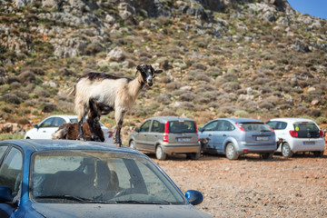 Goats standing on a car in an outside  parking lot in Crete, Greece