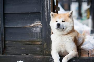 Sitting Akita Inu dog