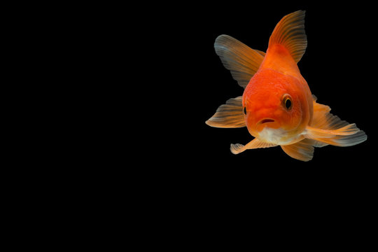 Goldfish in the background black