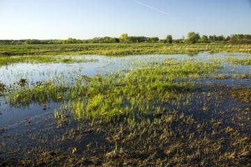 Grass on wet meadows
