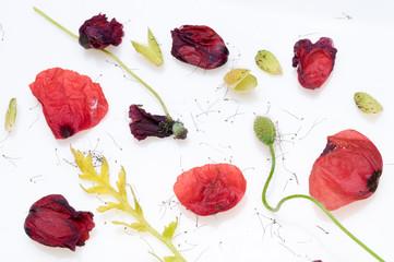 Wall Mural - bright red poppy flower
